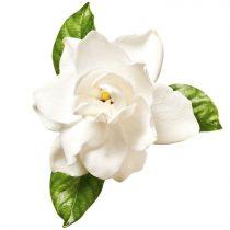 purcorganics - Gardenia florida