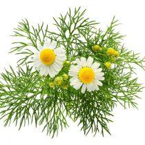 purcorganics - chamomile